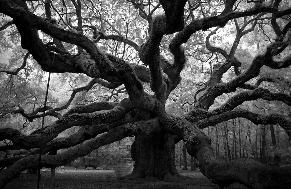 how to kill an oak tree quickly